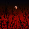 red moon trees