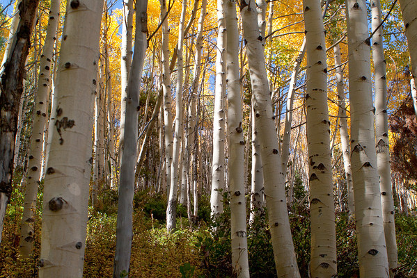 White & Gold Forest