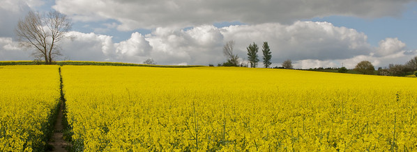 Oil seed rape field between Colchester and Stoke by Nayland on the Essex / Suffolk borders.
