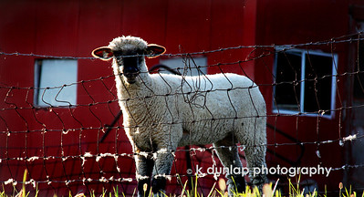"10.15.09 = I came across this group of sheep the other day.  They had all been laying up next to the fence and when I approached them they all got up and began a stare down with me. I loved how some of the wool is stuck to the fence. I wondered what they were thinking while looking at me.  They soon discovered that I wasn't all that interesting and went about their little lamb things. This guy kept his eye on me however.  I loved how the sunlight just hit his outline.  Have a great weekend everyone!  ""Life consists of what man is thinking all day""   Benjamin Franklin"