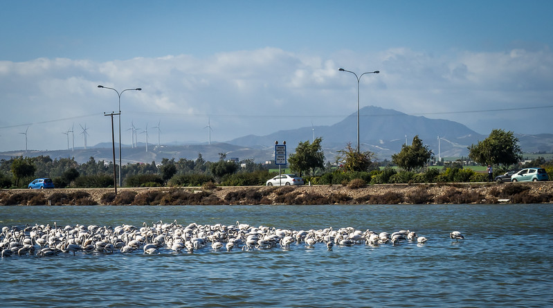 Flamingos in Larnaca