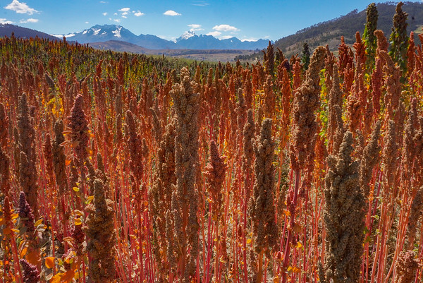 Quinoa fields outside Cusco, Peru