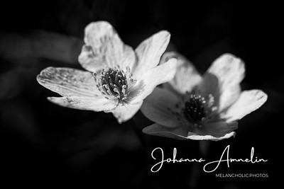 liedon linnavuori kukat makro sisäfilepihvi 058-Edit