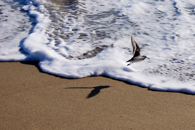 Small bird takes flight as waves roll into shore at Limantour Beach. ref: 38337d23-ab57-4b56-9acd-86cab929149f