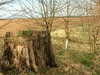 Another Beech stump next to a new Beech sapling.