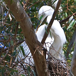 Restful In the Nest: A Great Egret (Ardea alba) preens itself while resting atop its lofty nest. Taken at Lindo Lake in Lakeside, Ca.