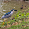 Black-crowned Night Heron: Standing on the shore, a Black-crowned Night Heron (Nycticorax nycticorax) considers going in the water.  Soon thereafter, he changes his mind.