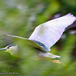 Black-crowned Night Heron: A Black-crowned Night Heron (Nycticorax nycticorax) flies through the trees .