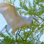 Quest for the Perfect Branch: A Great Egret (Ardea alba) combs through the branches of a tree looking for the perfect addition to its nest. Taken at Lindo Lake in Lakeside, Ca.