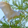 Quest for the Perfect Branch: A Great Egret (Ardea alba) combs through the branches of a tree looking for the perfect addition to its nest.<br /> Taken at Lindo Lake in Lakeside, Ca.
