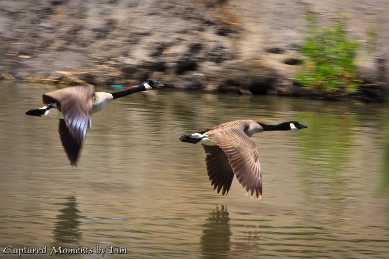 Canada Geese on the Wing: A pair of Canada Geese (Branta canadensis) skim the water.