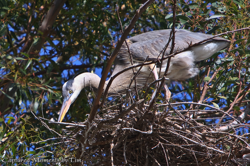 Just a Bit to the Left: A Great Blue Heron (Ardea herodias) carefully places a branch in just the right spot as it fashions its nest.<br /> Taken at Lindo Lake in Lakeside, Ca.