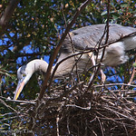 Just a Bit to the Left: A Great Blue Heron (Ardea herodias) carefully places a branch in just the right spot as it fashions its nest.