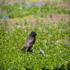 Keep Your Feet Dry: A black phoebe finds a short stump just above the waterline to perch on at Lindo Lake in Lakeside, California.
