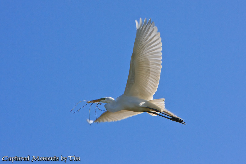 Twig Delivery: After finding a suitable branch, a Great Egret (Ardea alba) flies back to its nest to continue construction.<br /> Taken at Lindo Lake in Lakeside, Ca.