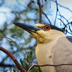 Black-crowned Night Heron: Perched in a pepper tree,  a Black-crowned Night Heron (Nycticorax nycticorax) surveys the area, keeping an especially close eye on me.