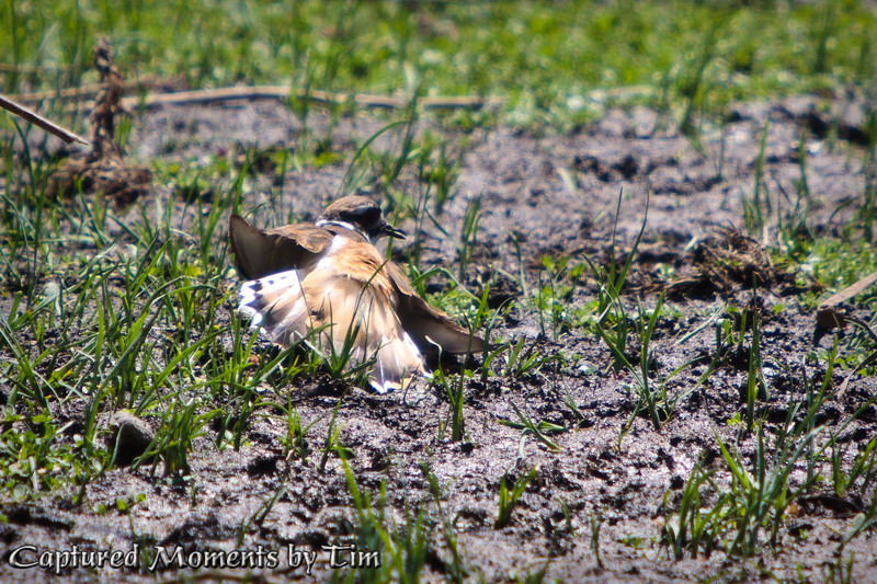 Protective Killdeer: A protective Killdeer feigns an injury trying to pursuade me from investigating her chicks.