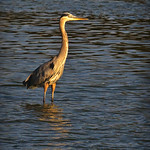 Great Blue Heron: The very first time I saw a Great Blue Heron as a boy I was absolutely convinced that it was just a branch of wood sticking up out of the water.  I just sat there completel ...