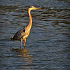 "Great Blue Heron: The very first time I saw a Great Blue Heron as a boy I was absolutely convinced that it was just a branch of wood sticking up out of the water.  I just sat there completely motionless for what seemed like an eternity.<br /> <br /> But then my ""stick"" moved."