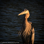Great Blue Heron: Awash in the setting sun.