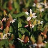 Yerba Mansa Flowers: There are very large patches of this flower growing along the shoreline of Lindo Lake.