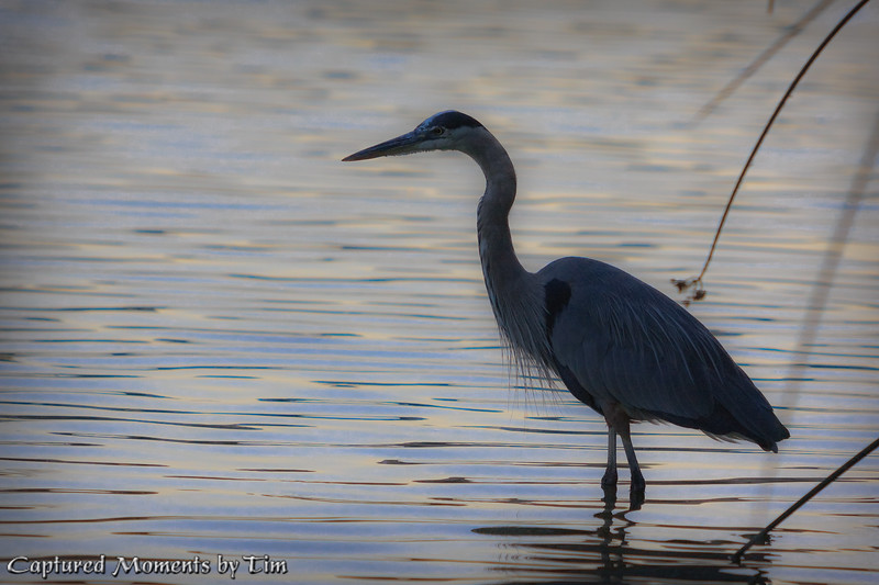 Great Blue Heron: A soft silhouette
