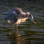 Great Blue Heron: Shakin things up.