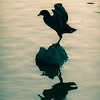 Perched American Coot