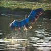 Great Blue Heron: Landing with a splash