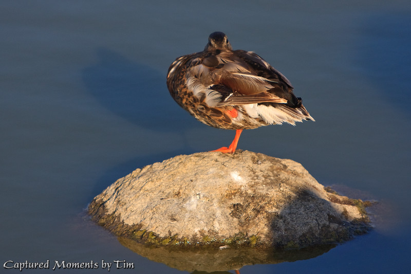 Mallard at Rest: A female Mallard watches me suspiciously while sunning herself in the afternoon on an exposed rock.