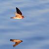 Cliff Swallow in Flight