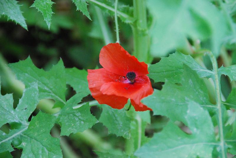 Wild poppies--lovely!