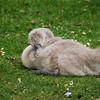 Ohhhhh, awkward swan babies!