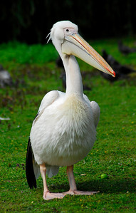 White Pelican at St. James Park -  London, England