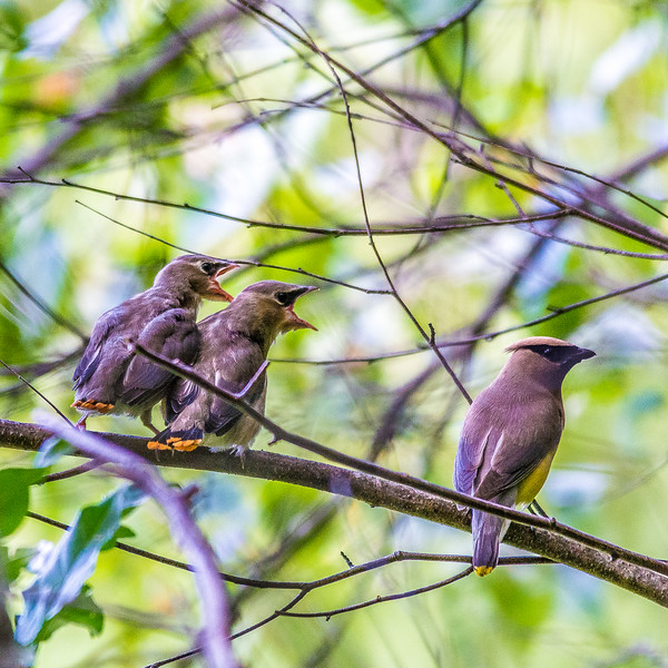 Fledgling Waxwings Waiting for the Next Cue from Mom