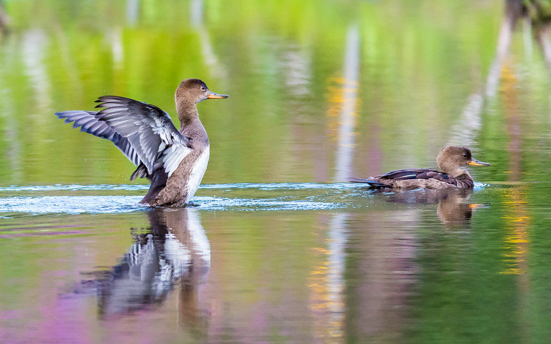 Juvenile Hooded Mergansers Enjoying an August Swim