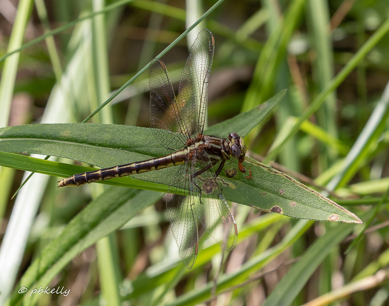 Lancet Clubtail female, Gomphus exilis, Carlisle 060719