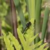 Dot-tail Whiteface Female, Leucorrhinia intacta.  060719, Carlisle