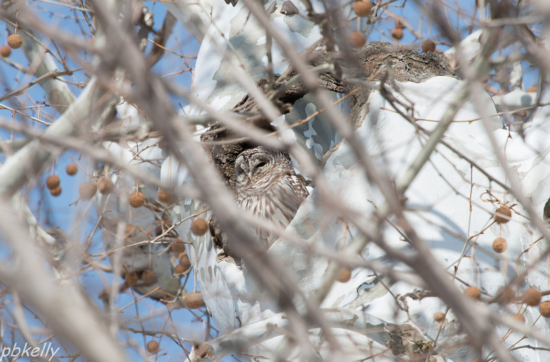 2/13/14.  Barred Owl through the branches.