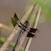 Mature, slightly battered, Common Whitetail male, Plathemis  lydia 071019 Columbia Station,