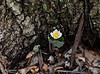 040720.  Bloodroot is still going strong.