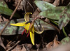 Trout Lily.  When I saw that the flower had a friend, I moved around to feature the beetle.