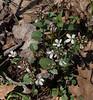 A clump of Spring Cress.