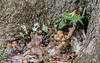 041220.  There are many of these mini gardens growing among the tree roots, but  this one was exploding with mushrooms.