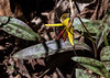 Trout Lily with friend.