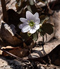 040220. Rue Anemone starting to bloom.