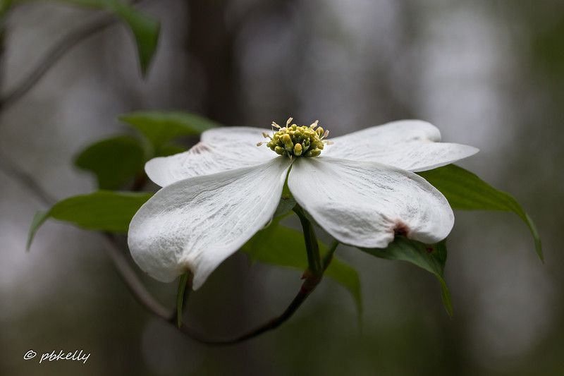 Dogwood bloom,  Usually in April
