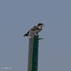 Kingbird 071319