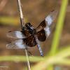 Widow Skimmer, Libellula luctuosa 072819