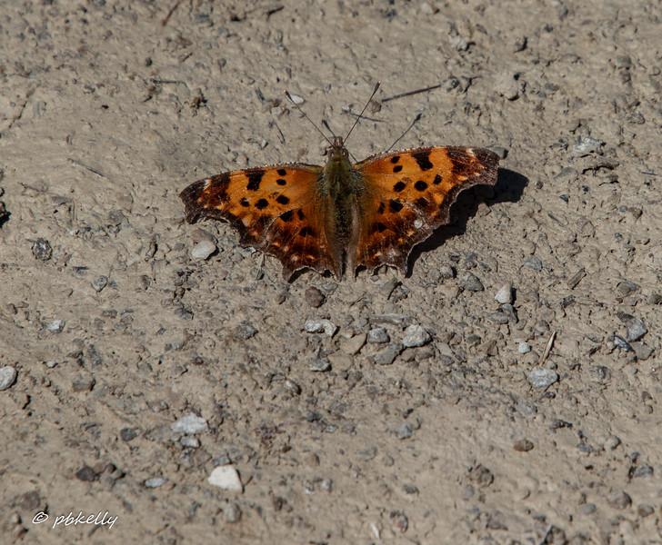 One of the earliest spring butterflies.  040620.